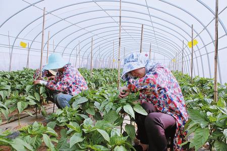 定西安定区鲁家沟镇台安新村扶贫产业园园区妇女进行点花粉作业