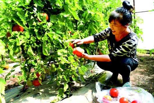 酒泉肃北县推动创建国家级有机农产品认证示范县(图)