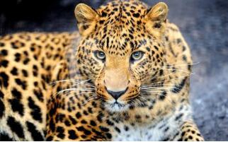 庆阳境内发现国家一级野生保护动物金钱豹活动轨迹