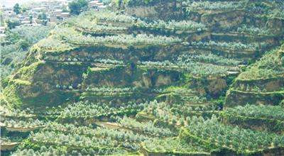 【西部地理】异域佳木繁盛武都,白龙江两岸油橄榄身世之谜
