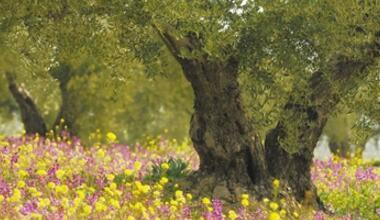 异域佳木繁盛武都 白龙江两岸油橄榄身世之谜