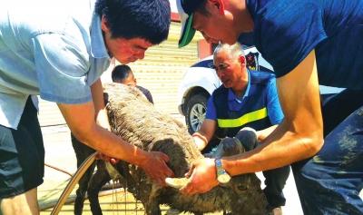 肃南裕固族自治县警民携手成功救治受伤岩羊