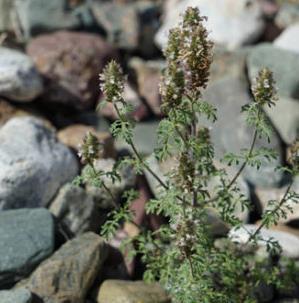 玉门市发现甘肃新分布记录野生芳香植物小裂叶荆芥(图)