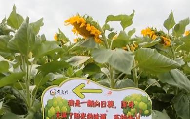 """""""花海经济"""":喜了游人 富了农民"""