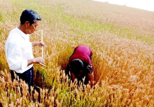 今年酒泉肃州区粮食播种面积达28.55万亩(图)