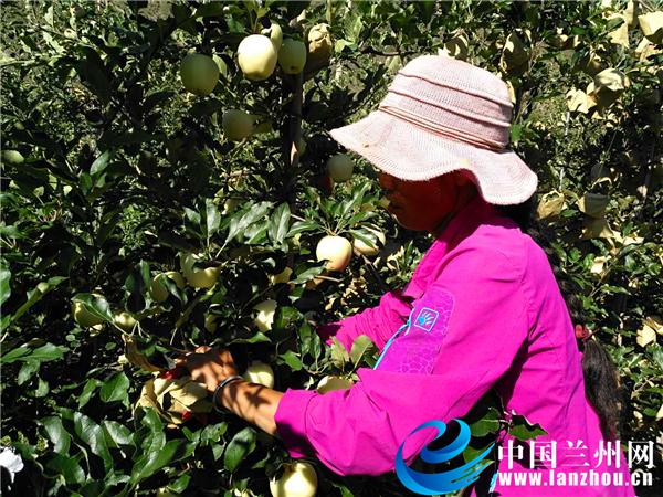 【中国兰州网】脱贫攻坚看甘肃 |苹果园托起村民致富的希望(组图)