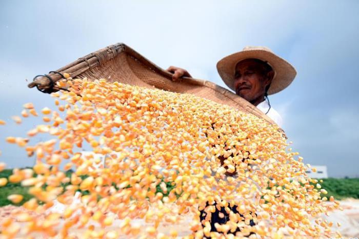 山东郯城十万余亩玉米丰收