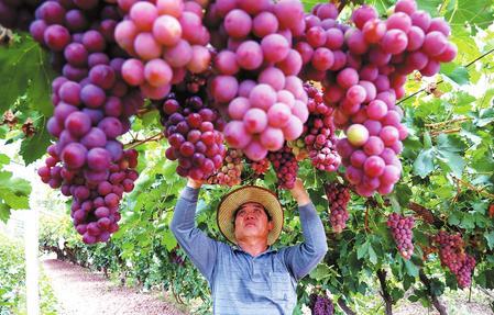 敦煌市15万亩葡萄陆续成熟上市(图)