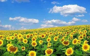 生活在向日葵地