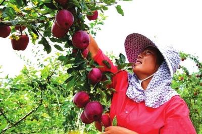 天水中梁镇花牛苹果将于9月10日左右正式开始采摘发货 可微信预订