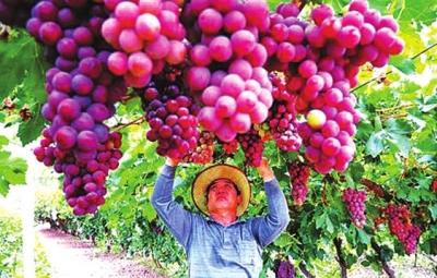 敦煌15万亩葡萄成熟上市 业内人士表示今年的售价比去年略高一些