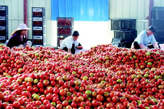 酒泉金塔县加快农产品加工业结构调整和产业升级(图)
