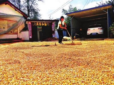 甘肃徽县今年种植玉米15.26万亩 预计总产量达6.64万吨