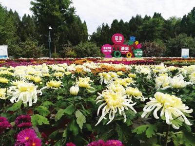 5万盆菊花竞相绽放兰州植物园