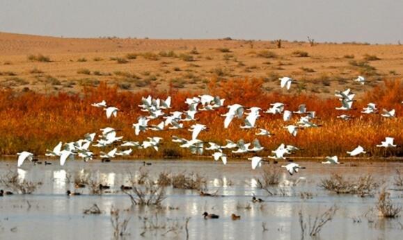 【大美甘肃】黑河湿地候鸟翔集 蔚为壮观
