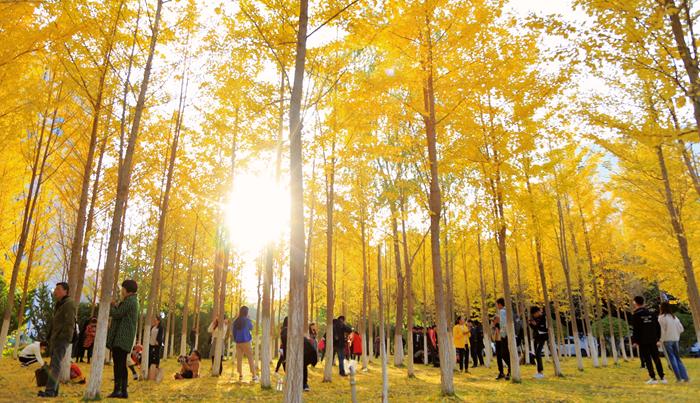 瞰秋|兰州理工大学银杏叶黄 又是一年秋正好(组图)