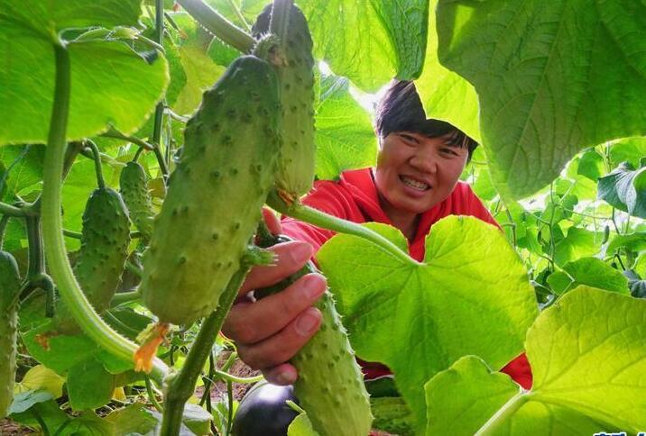 河北滦州:规模化发展设施蔬菜种植促增收