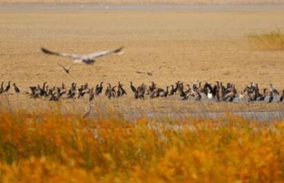 万只候鸟迁徙停歇甘肃黑河湿地戏水翻飞