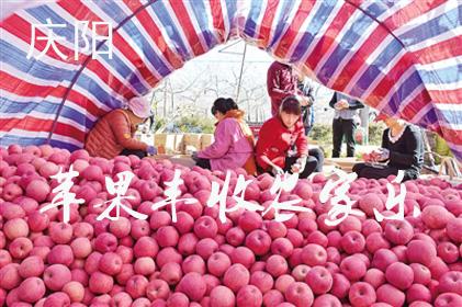 庆阳:苹果歉收田舍乐