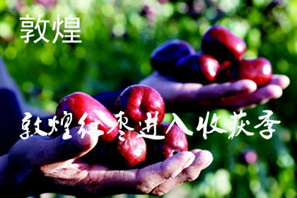 金秋十月酒泉敦煌市3万余亩红枣进入收获季(图)
