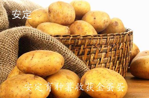 """定西市安定区育种薯收获""""金蛋蛋"""""""