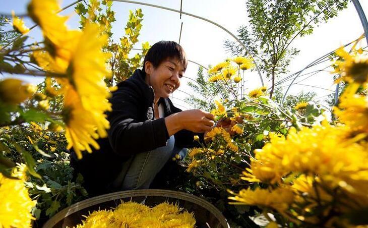 特色菊花种植铺就致富路