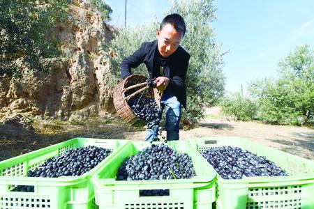 陇南油橄榄产业助力脱贫(图)