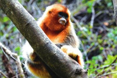 甘肃裕河保护区的金丝猴