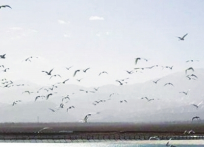 """大批候鸟在肃北""""歇脚"""""""