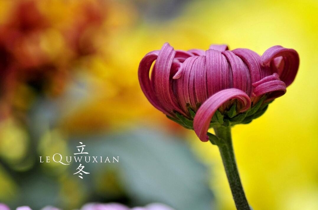 《立冬前一日霜对菊有感》——宋·钱时