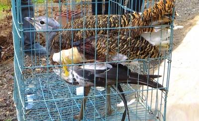 白银市靖远村民救助受伤的国家重点一级保护动物大鸨