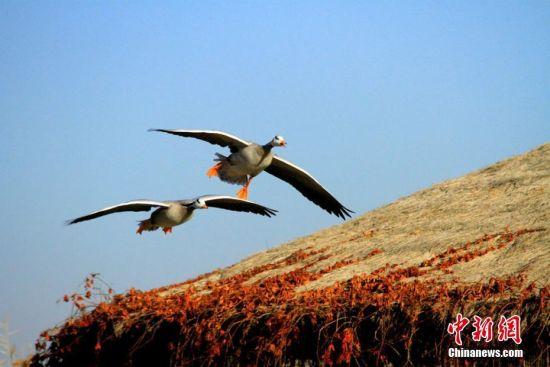 """龙虎和沙漠绿洲湿地成鸟类""""乐土"""""""