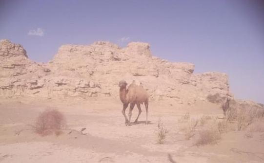 甘肃敦煌大漠湿地现罕见大群野骆驼