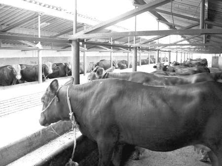 """产业发展看平凉——""""平凉红牛""""墙内开花墙外红"""