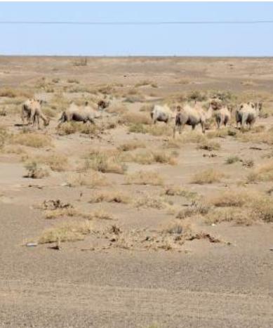 红外相机在敦煌拍摄到48峰规模的野骆驼种群