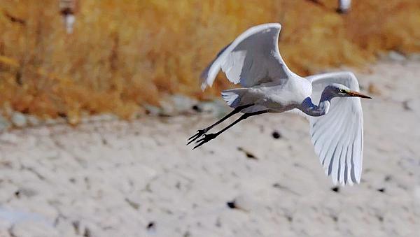 罕见!张掖肃南县首次拍摄到野生大白鹭影像