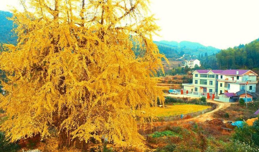 江西泰和千年银杏披满金甲 吸引游客来