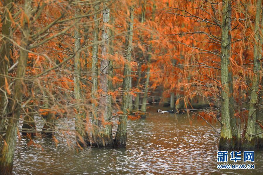 (生态)(1)池杉绘就美丽画卷