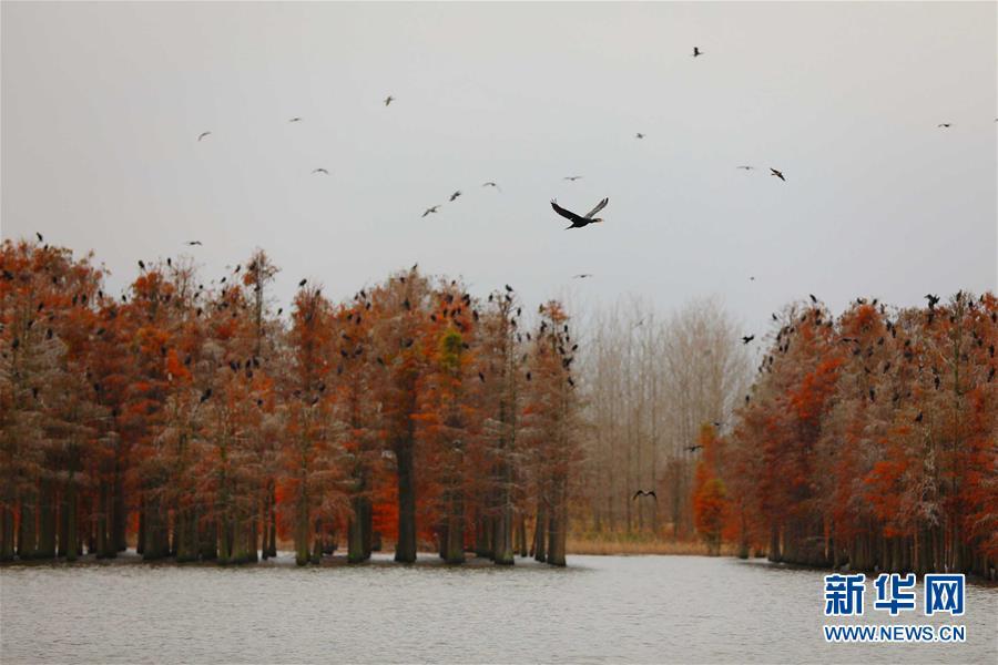 (生态)(2)池杉绘就美丽画卷