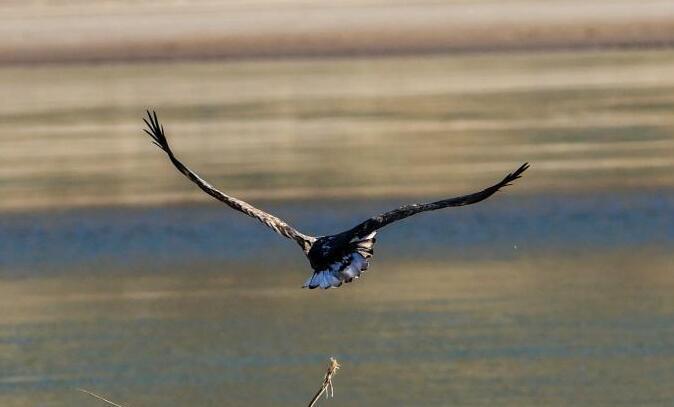 """国家一级保护动物白尾海雕""""现身""""青海贵德松巴峡"""