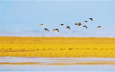 甘肃阳关国家级自然保护区首现国家二级保护动物白额雁