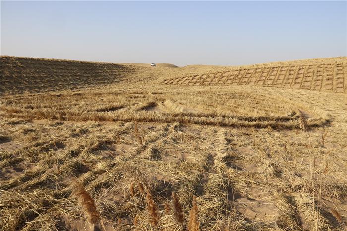 【改革开放40年】武威民勤向沙漠要效益 嫁接6万亩肉苁蓉培育亿元产业(组图)