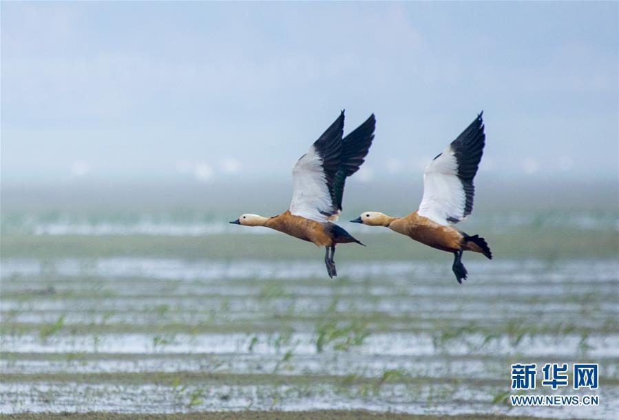 #(环境)(1)江西鄱阳湖:湿地成候鸟乐园