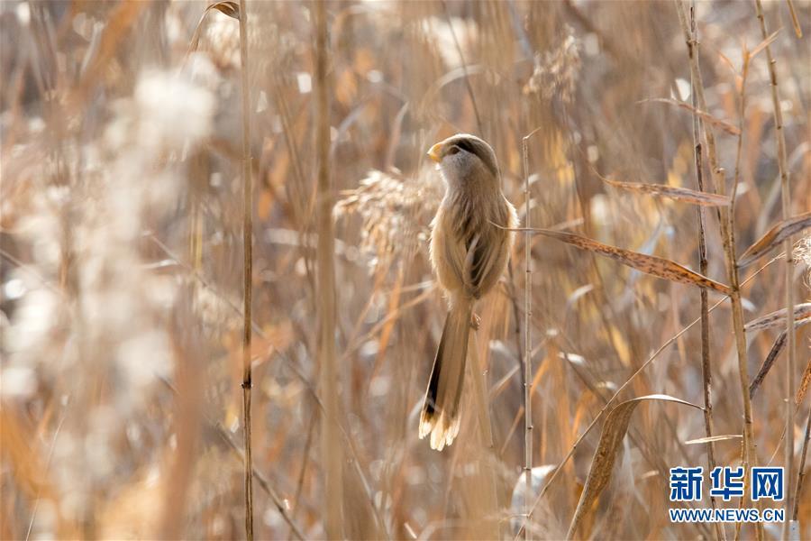 """#(环境)(1)山东高青:""""鸟中熊猫""""湿地过冬"""