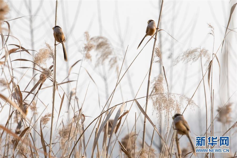 """#(环境)(2)山东高青:""""鸟中熊猫""""湿地过冬"""