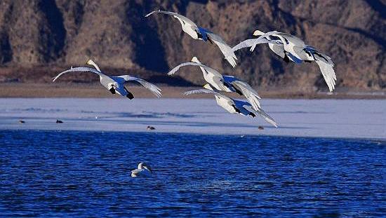 """近百只天鹅结伴""""歇脚""""龙虎和沙漠水库越冬"""