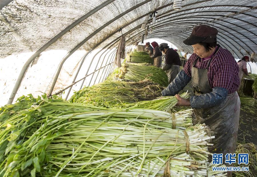 #(社会)(2)采收水芹菜供应节日市场