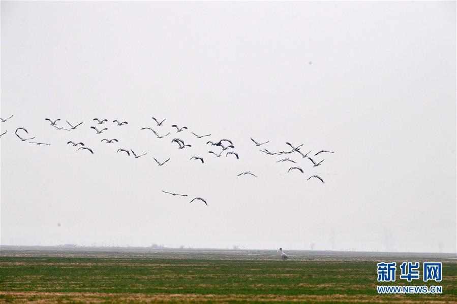 """(环境)(5)河南黄河湿地现""""万鸟飞临""""景观"""