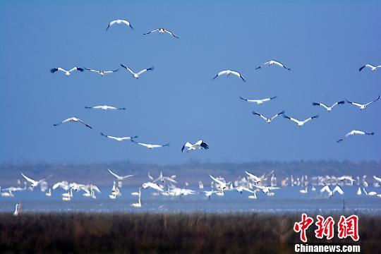 大批珍禽候鸟鄱阳湖湿地内栖息越冬