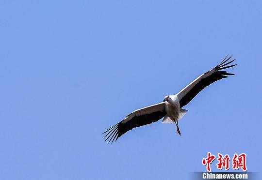 一只翱翔飞舞的候鸟。 段八一 摄